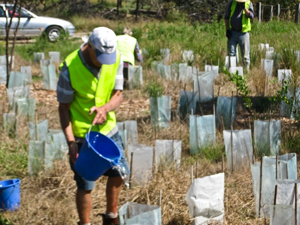 A volunteer watering recently planted trees near Curlewis Golf Club