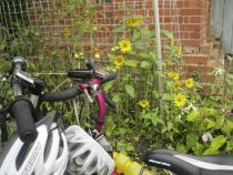 Tomatoes, sunflowers and pansies in peaceful co-existence with visiting bikes