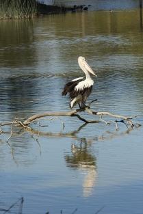 Pelican, Balyang Sanctuary