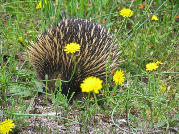Echidna on trail side