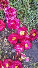 A path of fallen camellias